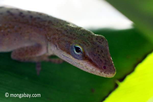 Brown green anole