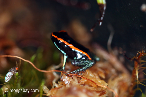 Phyllobates vittatus arrow poison frog
