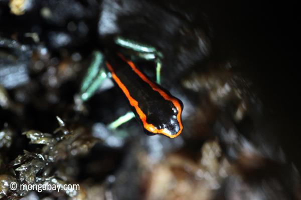 Phyllobates vittatus dart frog