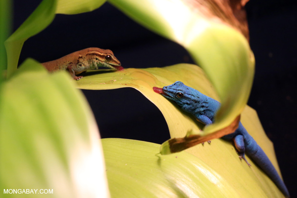 Male and female blue geckos