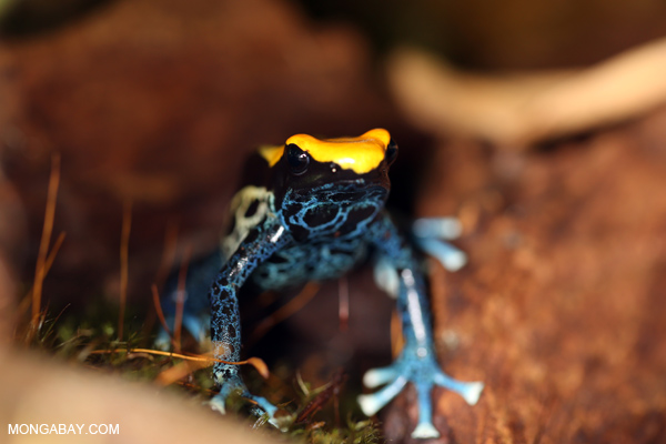 Yellow and blue tinct dart frog