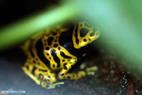 Fine-spot yellow and black dart frog