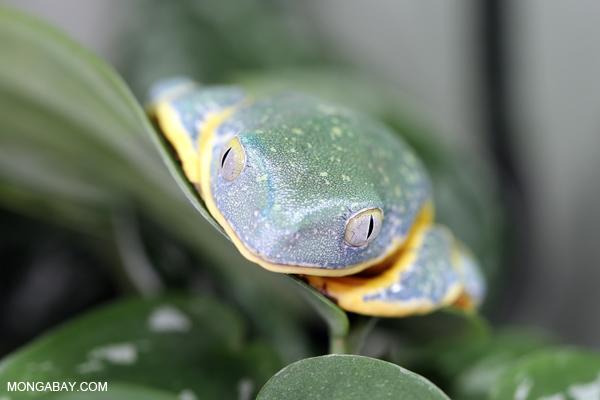 Splendid Tree Frog (Cruziohyla calcarifer)