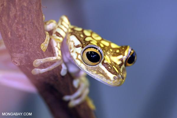 Imbabura Tree frog (Hypsiboas picturatus)
