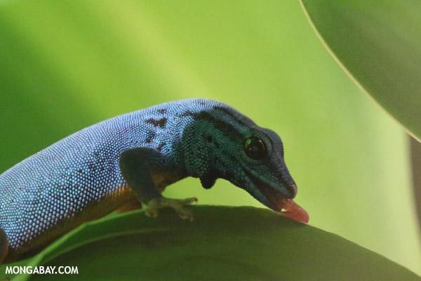 Male blue gecko