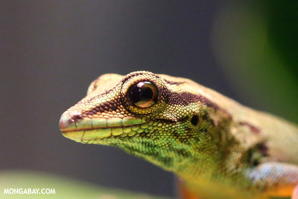 Female blue gecko