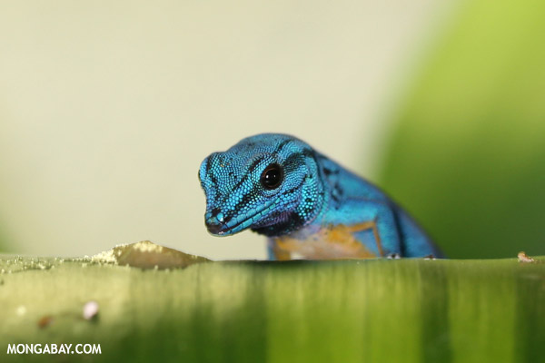 Male blue gecko (Lygodactylus willoamsi)