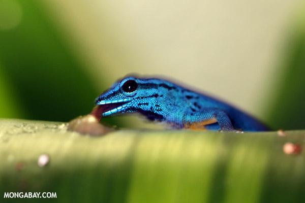 Neon blue gecko (Lygodactylus willoamsi)