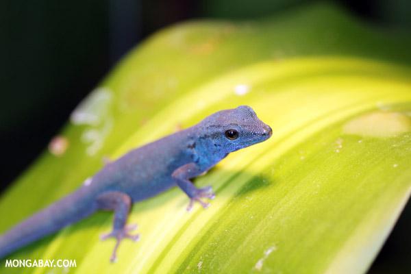 Male neon blue gecko