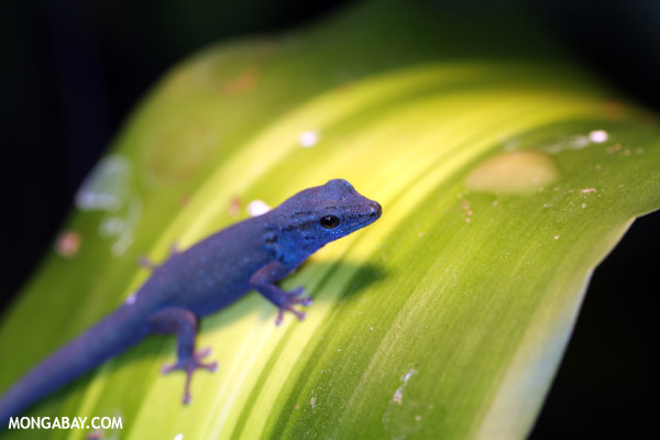 Male Williams blue gecko