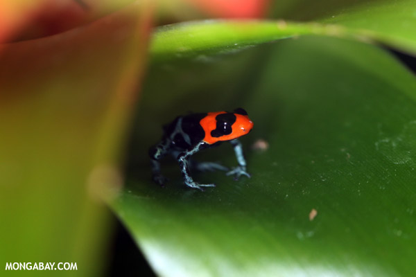 Ranitomeya benedicta dart frog from Peru