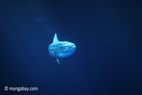 Mola: the ocean sunfish (picture)