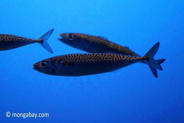 Pacific mackerel (Scomber japonicus)