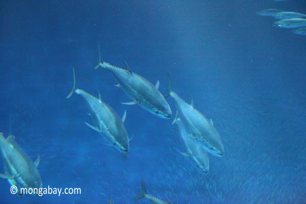 Bluefin tuna (Thunnus orientalis)