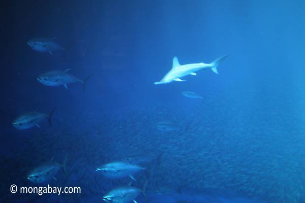 Scalloped hammerhead shark (Sphyrna lewini)