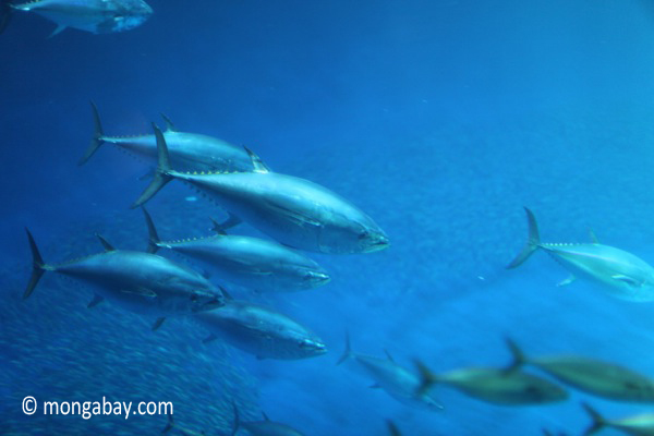 Pacific bluefin tuna (Thunnus orientalis)