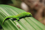 Giant day gecko [animals_zh_004]