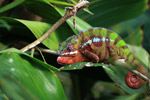 Red and green male panther chameleon (breeding coloration)