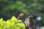 Madagascar Red Fody (Foudia madagascariensis) [animals_zh_027]