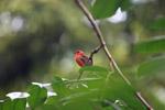 Madagascar Red Fody (Foudia madagascariensis) [animals_zh_028]
