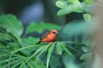 Madagascar Red Fody (Foudia madagascariensis) [animals_zh_030]