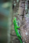Giant day gecko [animals_zh_031]