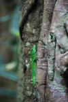 Giant day gecko [animals_zh_032]