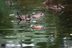 African Pygmy Goose (Nettapus auritus) in captivity [animals_zh_050]