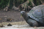 Aldabra Giant Tortoise (Geochelone gigantea) in captivity [animals_zh_055]