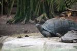 Aldabra Giant Tortoise (Geochelone gigantea) in captivity [animals_zh_056]