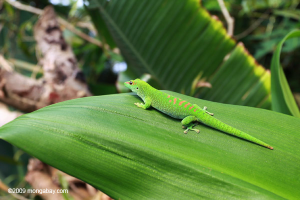 Giant day gecko [animals_zh_002]