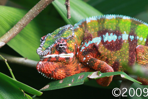 Red and green male panther chameleon (Christmas colors)