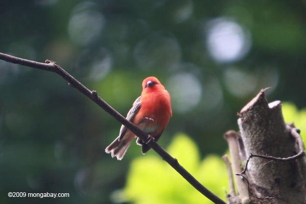 Madagascar Red Fody (Foudia madagascariensis)