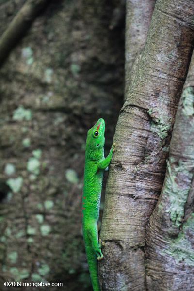 Giant day gecko [animals_zh_035]