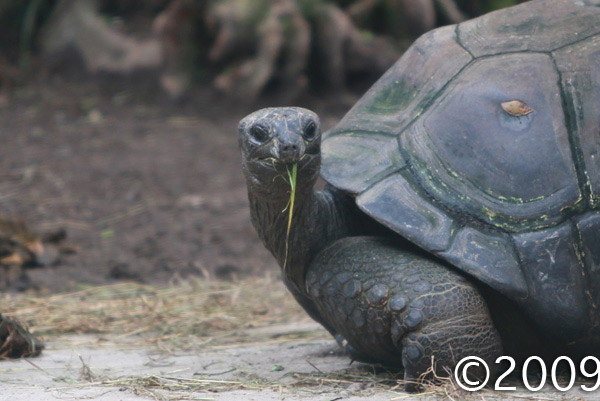 Aldabra Giant Tortoise (Geochelone gigantea) in captivity