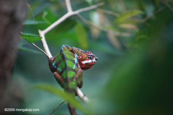 Male panther chameleon (breeding coloration) [animals_zh_058]