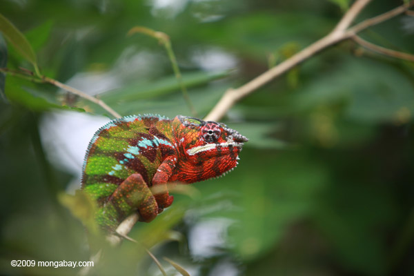 Male panther chameleon (breeding coloration) [animals_zh_060]