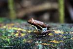 Marbled Poison Arrow Frog (Epipedobates boulengeri)