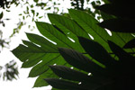Tropical leaves belonging to the Breadfruit tree (Artocarpus altilis)