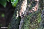 Gorgona Poison Frog (Epipedobates boulengeri) carrying eggs or tadpoles on its back