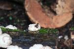 Epipedobates boulengeri Poison Arrow Frog