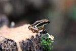 Epipedobates boulengeri Dart Frog