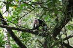 White-headed capuchin (Cebus capucinus) [colombia_2971]