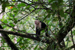White-headed capuchin monkey [colombia_2972]