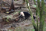 White-headed capuchin monkey tearing open an ant nest [colombia_2977]