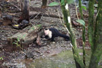 White-headed capuchin monkey tearing open an ant nest