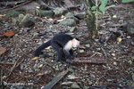 White-headed capuchin monkey (Cebus capucinus) tearing open an ant nest [colombia_2990]