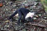 White-headed capuchin monkey (Cebus capucinus) tearing open an ant nest [colombia_2993]
