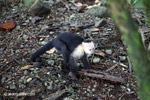 White-headed capuchin monkey tearing open an ant nest [colombia_2995]
