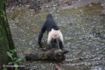 White-headed capuchin (Cebus capucinus) tearing open an ant nest